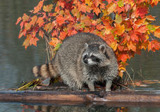 Raccoon Stands Between Logs on Pond Stock Photo