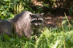 Raccoon in Stanley Park, Vancouver. Canada Royalty Free Stock Image