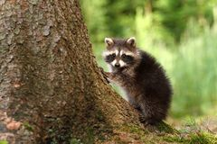 Raccoon by stem Royalty Free Stock Image