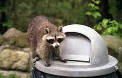 Raccoon sulla latta di immondizia   fotografia stock libera da diritti