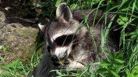 Raccoon stock video