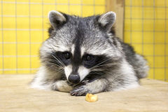 Raccoon Royalty Free Stock Image