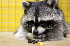 Raccoon Royalty Free Stock Photography