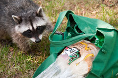 Raccoon thief Stock Images