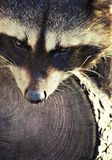 Raccoon together with his  tree Royalty Free Stock Photo