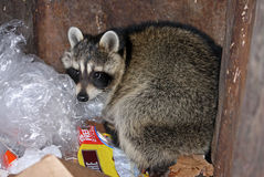 Raccoon. In a trash dumpster Stock Photo