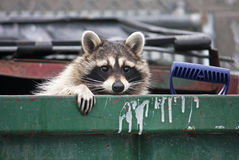 Raccoon. In a trash dumpster Royalty Free Stock Photography