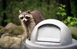 Raccoon on Trashcan. Raccoon standing on trash can in Cleveland Metroparks system Stock Image