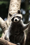 Raccoon in tree Stock Image