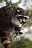 Raccoon in a tree Stock Photo