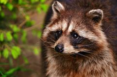 Raccoon in a tree. Looking out at the forest Royalty Free Stock Images
