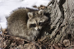 Raccoon in winter Royalty Free Stock Photography