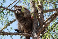 Raccoon on a tree branch Stock Photo