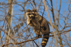Raccoon in tree branches Royalty Free Stock Photo