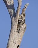 Raccoon in tree cavity, Okefenokee Swamp National Wildlife Refuge Royalty Free Stock Image
