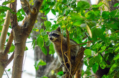 Raccoon in a Tree Stock Photos