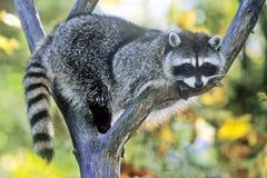 Raccoon in Tree Royalty Free Stock Photo