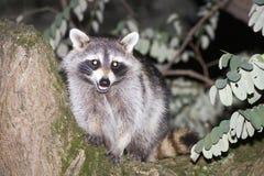 Raccoon on a tree Stock Photography