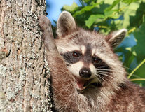 Raccoon in a tree Royalty Free Stock Photography