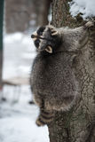 The raccoon on a tree in the winter park Royalty Free Stock Photos
