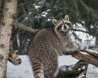 Raccoon in the snow. Raccoon at Triple D Game Farm Kalispell, Montana USA.  He seems to be smiling for the camera Stock Photo