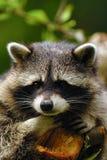 Raccoon triste imagem de stock