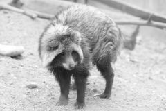 Raccoon triste Fotografia de Stock