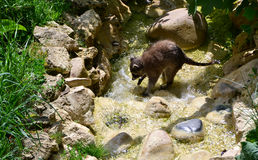 The raccoon. Is trying something to find a water stream in the Zoo Stock Image