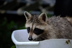 Raccoon in a tub of water Stock Photo