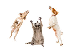 Raccoon and two dogs jumping together Stock Image