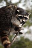 Raccoon in un albero fotografia stock