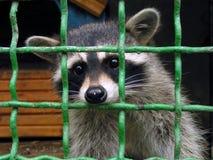 Raccoon in una gabbia. Fotografia Stock Libera da Diritti