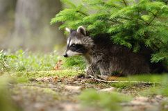 Raccoon under the spruce Stock Image