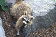 raccoon Vanligt Raccoon amerikansk norr raccoon Nordlig tvättbjörn Arkivbild
