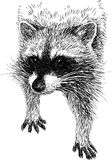 Raccoon 2 Royalty Free Stock Photo