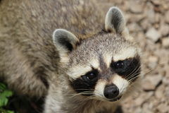 Raccoon. A very cute raccoon looking up Royalty Free Stock Photo