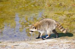 Raccoon vicino allo stagno in terreni paludosi Fotografie Stock Libere da Diritti