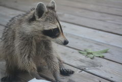 Raccoon Vistitor Stock Photography