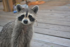 Raccoon Vistitor Royalty Free Stock Images