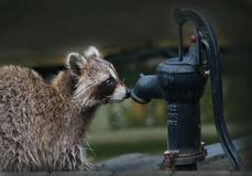 Raccoon Waiting For Assistance royalty free stock image