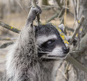 Raccoon on a walk in Tver Stock Photography
