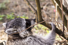 Raccoon on a walk in Tver Royalty Free Stock Image