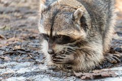Raccoon on a walk in Tver Royalty Free Stock Photo