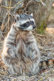 Raccoon on a walk in Tver Stock Photos