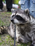 Raccoon on a walk in Tver Royalty Free Stock Images