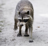 Raccoon  Walking Royalty Free Stock Images