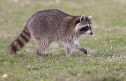 Raccoon walking on green grass in middle of field in county park Royalty Free Stock Images
