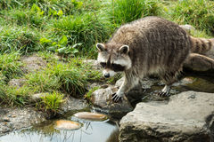 Raccoon walking in the green grass Stock Photos