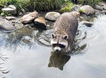 Raccoon walking in the green grass Stock Image