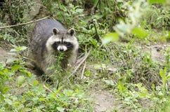 Raccoon walking through a green meadow Royalty Free Stock Photos